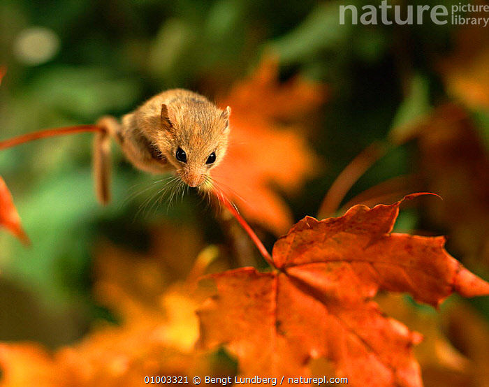 Dormouse (Muscardinus avellarius) on sycamore leaf. Sweden, Scandinavia, Europe, AUTUMN,EUROPE,HORIZONTAL,LEAF,LEAVES,MAMMALS,RODENTS,SCANDINAVIA,SWEDEN,SYCAMORE,MURIDAE, Bengt Lundberg