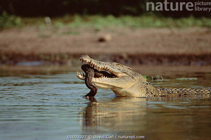 Saltwater crocodile eating file snake, Kakadu NP,  Australia, AUSTRALIA,DC,FEEDING,HORIZONTAL,KAKADU,NP,PREDATION,REPTILES,SNAKE,WATER,BEHAVIOUR,NATIONAL PARK,CROCODYLIA, CROCODILES, David Curl