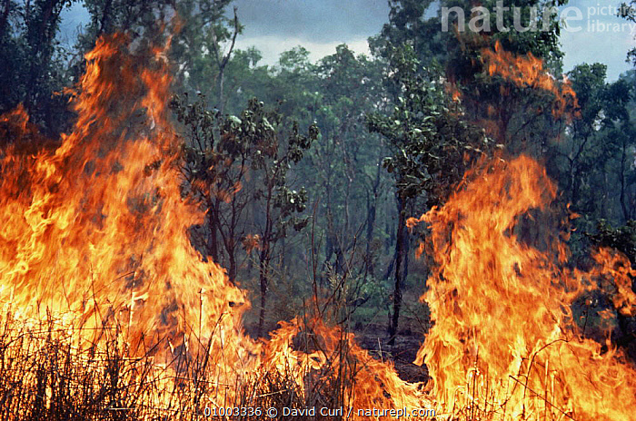 Bush fire at the end of the dry season. Kakadu NP, Northern Territory, Australia  ,  AUSTRALASIA,AUSTRALIA,DANGER,FIRE,FLAMES,HEAT,NP,TREES,Plants,National Park  ,  David Curl