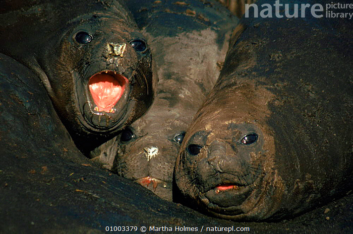 Sothern Elephant Seals in mud wallow, South Georgia, FALKLAND,ISLANDS,GROUPS,HORIZONTAL,HUMOROUS,MAMMALS,MUD,PINNIPEDS,THREE,CONCEPTS, Martha Holmes