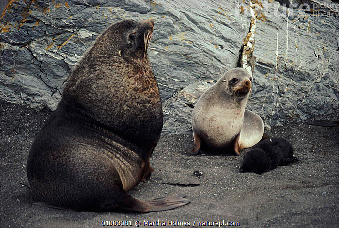 Antarctic fur seal male with female and young pup. Males are much larger than females, often four times their weight.  ,  ANTARCTICA,COASTS,FAMILIES,HORIZONTAL,MALE FEMALE PAIR,MAMMALS,MARINE,MH,PINNIPEDS  ,  Martha Holmes