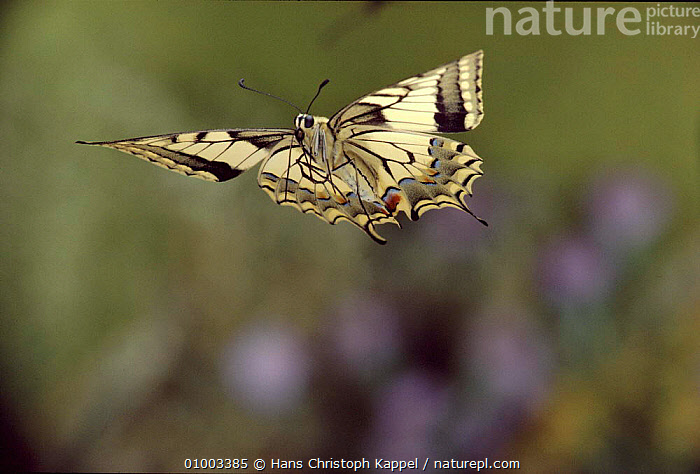 Swallowtail butterfly in flight, Germany, ACTION,BUTTERFLY,EUROPE,FLYING,GERMANY,HK,HORIZONTAL,INSECTS,OUTSTANDING,WINGS,INVERTEBRATES,LEPIDOPTERA, Hans Christoph Kappel