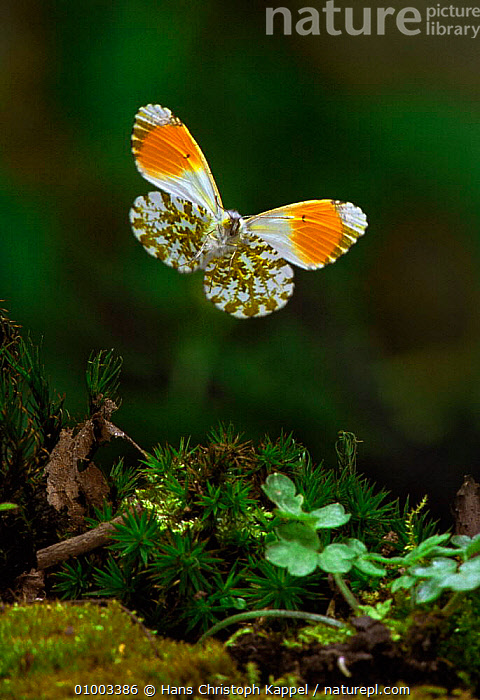 Orange Tip butterfly in flight, Germany (Anthocharis cardamines)  ,  VERTICAL,BUTTERFLIES,EUROPE,FLYING,INSECTS,LEPIDOPTERA,Invertebrates,Catalogue1  ,  Hans Christoph Kappel