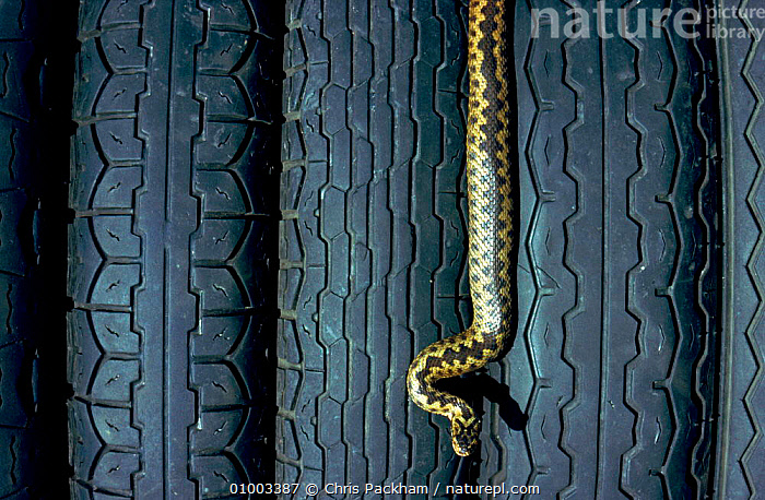Adder and car tyres., ARTY SHOTS,C,CP,EUROPE,HORIZONTAL,REPTILES,SNAKES,TYRES,VEHICLES,VERTICAL, ADDERS, Chris Packham