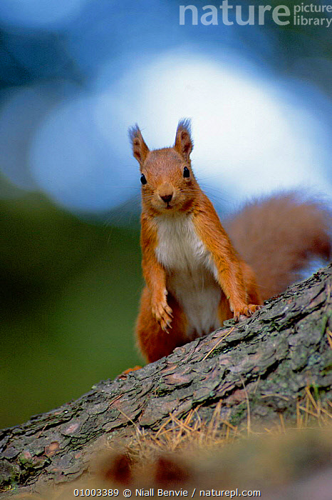 Red Squirrel on tree trunk looking, Scotland (This image may be licensed either as rights managed or royalty free.), BRITISH,CONIFEROUS,CUTE,EUROPE,MAMMALS,NB,PORTRAITS,RODENTS,SCOTLAND,SQUIRRELS,WILDLIFE,RF, royalty free, RF3,,RF3,,RF,, Niall Benvie
