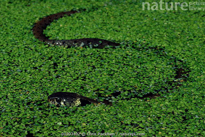 Grass snake swimming in pond covered in pondweed, England,  ,  AQUATIC,CP,ENGLAND,EUROPE,HORIZONTAL,POND,REPTILES,SNAKE,SNAKES,SURFACE,SWIMMING,UK,WETLANDS,UNITED KINGDOM,BRITISH,Plants  ,  Chris Packham