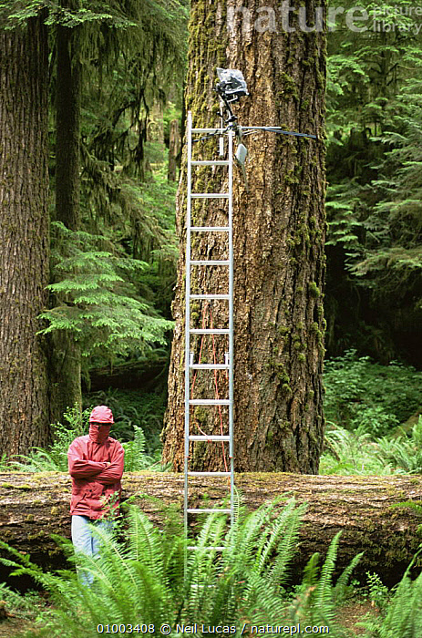 Camerman Gavin Thurston plagued by mosquitos, filming in Olympic NP, USA, June 1993 for BBC series Private Life of Plants  ,  FILMING,NHU,NP,PLANTS,TEMPERATE RAINFOREST,TREES,TRUNKS,USA,North America,National Park , mosquitoes  ,  Neil Lucas