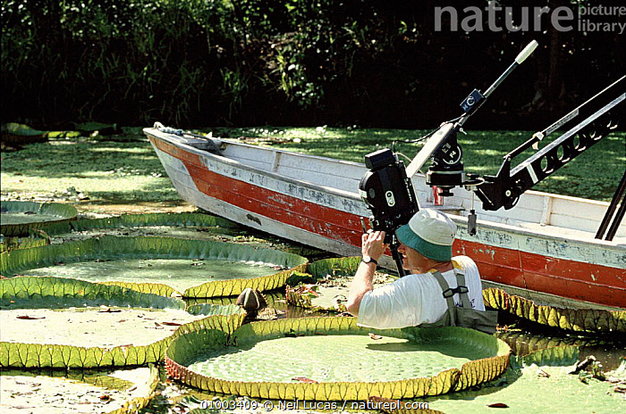 Tim Shepherd filming Royal Water Lilies in Brazil for the BBC series The Private Life of Plants in December 1993, AMAZONICA,BRAZIL,CAMERA,FILMING,IN,LAKES,LEAVES,LILIES,LILLY,LILY,NL,RIVERS,ROYAL,SHEPERD,SOUTH AMERICA,VICTORIA,WATER,WILD, Neil Lucas