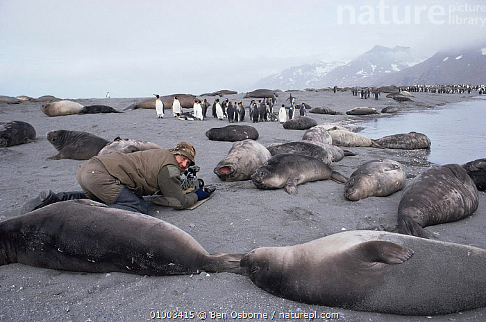 Cameraman Mike Richards filming Southern fur seals at breeding colony for BBC series Life in the Freezer, South Georgia 1992  ,  ANTARCTICA,BEACHES,FILMING,FUR,GROUPS,MAMMALS,NHU,SEALS  ,  Ben Osborne