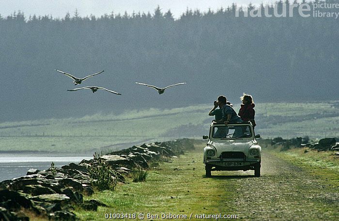 Snow geese imprinted goslings flying beside filming car (Anser caerulescens) Birds of Winter series, North Wales, UK, BBC,BIRDS,EUROPE,FILMING,FLIGHT,FLYING,GEESE,GROUPS,NHU,PEOPLE,SERIES,SNOW,UK,VEHICLES,WALES,WATERFOWL,WINTER,United Kingdom,British, Ben Osborne