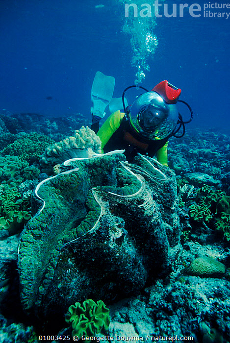 Martha Holmes with Giant Clam during filming of BBC television series 'Seatrek' 1991  ,  1991,CLAM,CORAL REEFS,DURING,FILMING,GD,GIANT,GIGAS,IN,INVERTEBRATES,MARINE,MOLLUSCS,NBSM283D,NHU,PORTRAITS,TRIDACNA,UNDERWATER,VULNERABLE,WILD  ,  Georgette Douwma