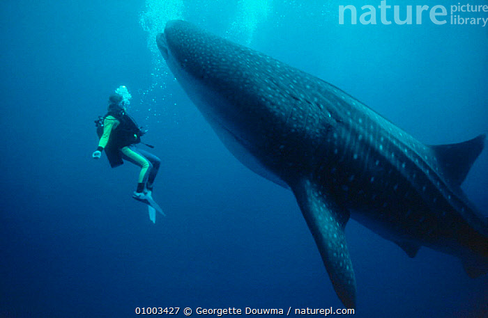 """Martha Holmes swims with Whale Shark off Hawaii, 1991 on location for BBC NHU television series """"Seatrek"""", Model released  ,  FILMING,FISH,NHU,PACIFIC,PEOPLE,SIZE,SWIMMING,UNDERWATER,USA,North America,Catalogue1  ,  Georgette Douwma"""
