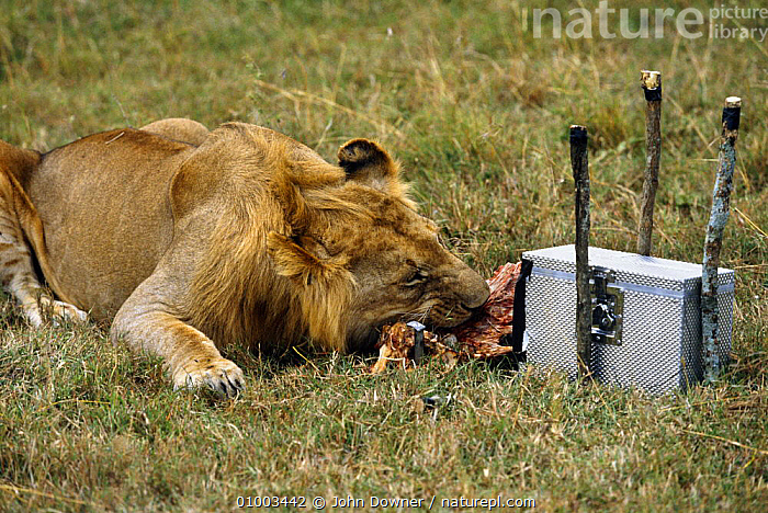 Remote camera filming lion eating prey,  for BBC television series 'Supersense' 1989, CAMERAS,CAMOUFLAGE,EQUIPMENT,FEEDING,FILMING,FILMING IN WILD,HUMOROUS,LIONS,MAMMALS,NHU,REMOTE FILMING,TECHNIQUES,Concepts, John Downer