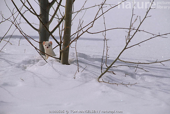 Stoat / Ermine behind tree. (Mustela erminea) Wyoming USA., CARNIVORES,CAMOUFLAGE,ICE,MAMMALS,USA,WINTER,WHITE,WEASELS,SNOW,TREE,NORTH AMERICA,MUSTELIDS, TOM MANGELSEN