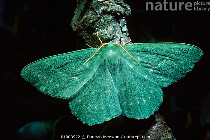 Large Emerald moth, UK  ,  DMC,EUROPE,GREEN,HORIZONTAL,INSECTS,SCOTLAND,UK,WINGS,UNITED KINGDOM,INVERTEBRATES,BRITISH,LEPIDOPTERA  ,  Duncan Mcewan
