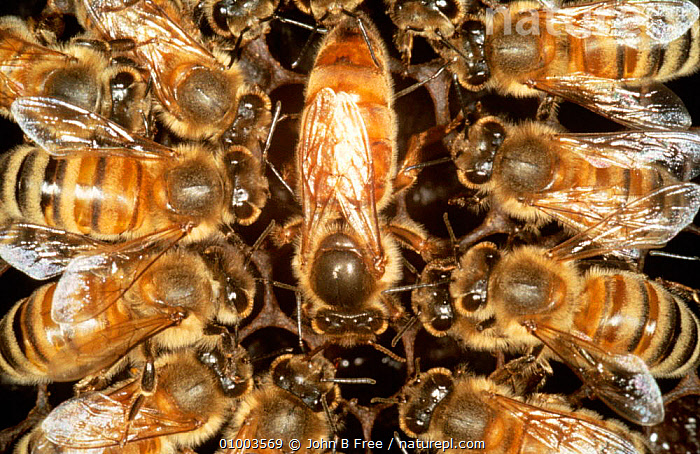 Queen Honey bee surrounded by worker bees (Apis mellifera) UK, ARTHROPODS,BEES,COLONIES,COOPERATION,COOPERATIVE,DRONES,ENGLAND,EUROPE,FEMALES,GROUPS,HIVES,HYMENOPTERA,INSECTS,INVERTEBRATES,NESTS,SOCIAL BEHAVIOUR,UK,WORKERS,United Kingdom,British ,honeybee,honeybees, John B Free