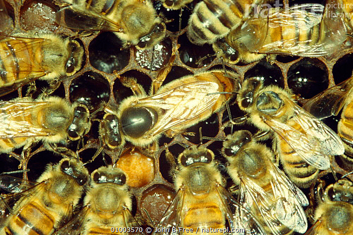 "Queen and ""court"" of worker Honey bees (Apis mellifera) UK, ARTHROPODS,BEES,COLONIES,COLONY,ENGLAND,EUROPE,FEMALES,GROUPS,HYMENOPTERA,INSECTS,INVERTEBRATES,NESTING BEHAVIOUR,NESTS,QUEEN,REPRODUCTION,SOCIAL BEHAVIOUR,UK,United Kingdom,British ,honeybee,honeybees, John B Free"
