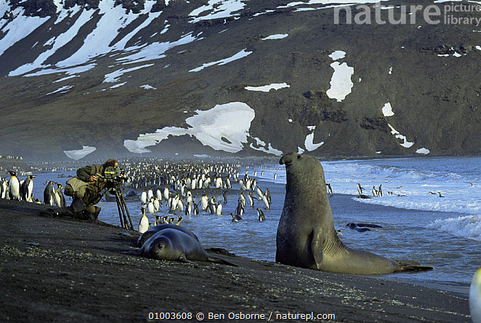 Camerman Mike Richards films King penguins watched by elephant seal, South Georgia. On location for 'Life in the Freezer' 1992, BEACHES,COASTS,FILMING,HORIZONTAL,LANDSCAPES,NHU,OUTSTANDING, Ben Osborne