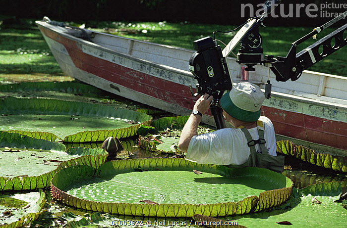Camerman Tim Sheperd filming Giant Victoria water lily for BBC series Private Life of Plants, Brazil, 1993, FILMING,LEAVES,NHU,PLANTS,SOUTH AMERICA,WATER, Neil Lucas