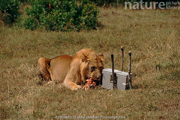 Remote camera in protective housing and bait used to film wild lion close up for BBC television series 'Lifesense'  ,  AFRICA,CAMERA,INTERESTING,JD,LIFESENSE,LION,MAMMALS,NHU,REMOTE  ,  John Downer