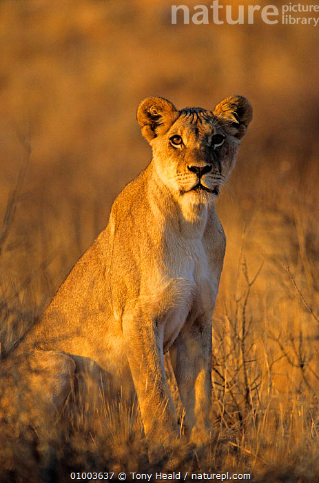 Lioness at sunrise (Panthera leo)  Kalahari Gemsbok NP South Africa, AFFECTIONATE,AFRICA,BIG CATS,CARNIVORES,CATS,FEMALES,LIONS,MAMMALS,NP,PORTRAITS,SOUTHERN AFRICA,SUNRISE,VERTEBRATES,VERTICAL,concepts,National Park ,Kgalagadi,Transfrontier, Tony Heald