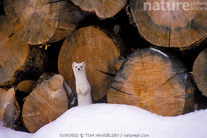 Stoat / Ermine in winter coat by wood pile (Mustela erminea) Grand Teton NP, USA  ,  OUTSTANDING,SNOW,WEASELS,CARNIVORES,COLOUR PHASE,MAMMALS,WHITE,MUSTELIDS ,Rocky Mountains,,North America  ,  TOM MANGELSEN