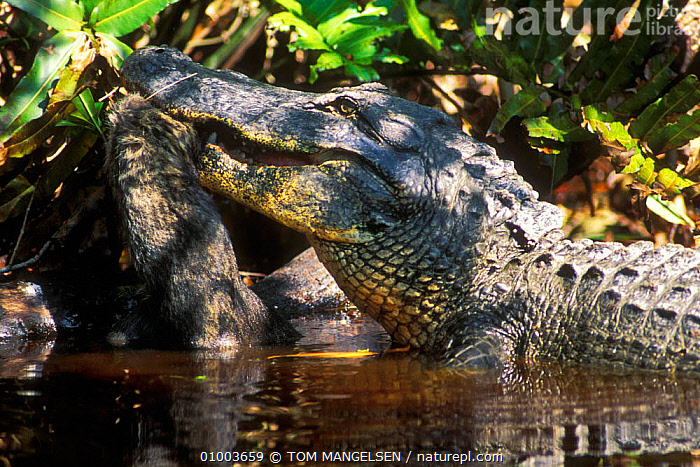 American Alligator eating Racoon, Sanibel Island Florida USA.  ,  PREDATION,REPTILES,USA,WETLANDS,FEEDING,ALLIGATORS,NORTH AMERICA,BEHAVIOUR,CROCODYLIA, ALLIGATORS  ,  TOM MANGELSEN