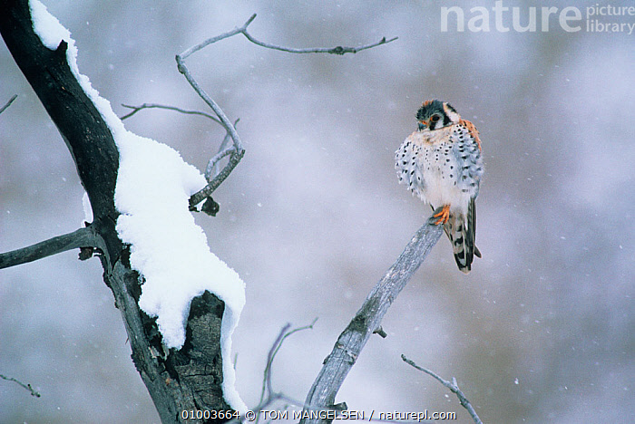 American kestrel (Falco sparverius) perched in snow, Yellowstone NP, Wyoming, USA  ,  BIRDS,BIRDS OF PREY,COLD,FALCONS,NP,SNOW,SNOWING,USA,VERTEBRATES,VERTICAL,WEATHER,National Park,North America  ,  TOM MANGELSEN