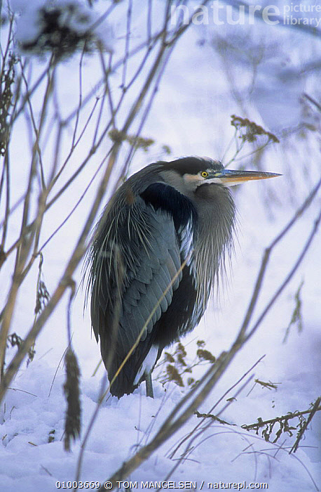 Great Blue Heron (Ardea herodius) standing with feathers fluffed up in snow, Grand Teton NP,  Wyoming, USA  ,  BIRDS,COLD,HERONS,NP,PORTRAITS,SNOW,USA,VERTEBRATES,VERTICAL,WADING BIRDS,WINTER,National Park,North America ,Rocky Mountains,  ,  TOM MANGELSEN