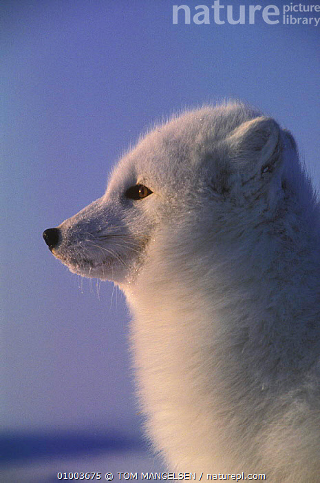 Arctic Fox Vulpes lagopus) head profile portrait, Hudson Bay, Canada.  ,  PORTRAITS,OUTSTANDING,VERTICAL,WHITE,FOXES,DOGS,CANIDS ,MAMMALS  ,  TOM MANGELSEN