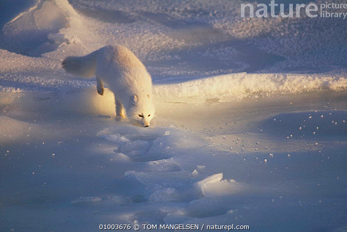 Arctic Fox (Vulpes lagopus) Hudson Bay Canada  ,  FOXES,ICE,CARNIVORES,WHITE,OUTSTANDING,MAMMALS,DOGS,CANIDS  ,  TOM MANGELSEN