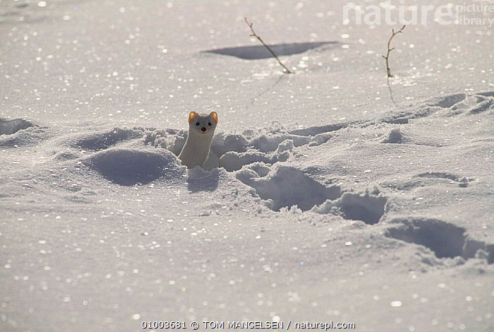 Stoat / Ermine in winter coat in snow (Mustela erminea) Wyoming, USA.  ,  OUTSTANDING,WHITE,WEASELS,USA,CAMOUFLAGE,NORTH AMERICA,MUSTELIDS  ,  TOM MANGELSEN