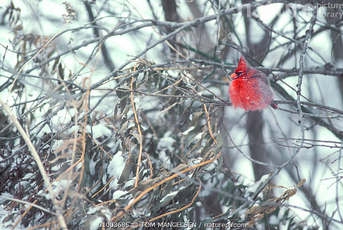 Northern cardinal fluffed up in tree. (Cardinalis cardinalis) Montana, BIRDS,FEATHERS,OUTSTANDING,RED,THERMOREGULATION,USA,CARDINALS,SNOW,TREES,WINTER,NORTH AMERICA,PLANTS, TOM MANGELSEN