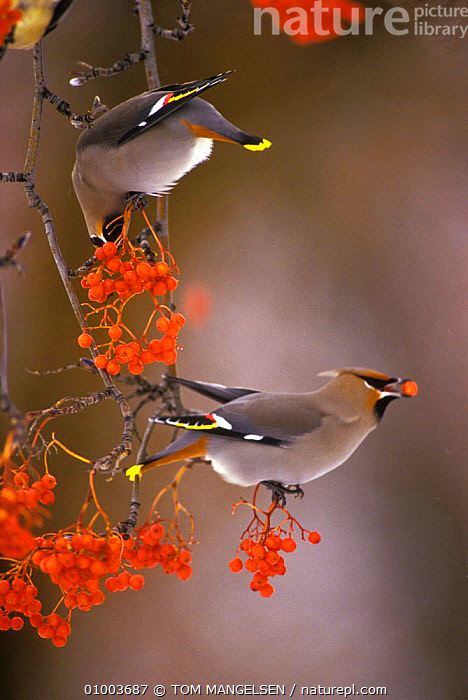 Bohemian waxwings eating berries (Bombycilla garrulus) Montana, FEEDING,RED,TREES,BIRDS,FRUIT,NORTH AMERICA,OUTSTANDING,PORTRAITS,USA,WINTER,PLANTS, TOM MANGELSEN