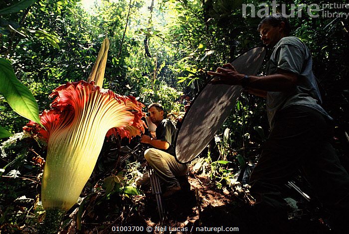 Filming Amorphophallus, the world's largest flower, in Sumatra rainforest for BBC television series 'The Private Life of Plants' August 1993.  ,  1993,AMORPHOPHALLUS,ASIA,FLOWERS,HORIZONTAL,NBSL249Y,NL,SOUTH EAST ASIA,SUMATRA,TROPICAL RAINFOREST  ,  Neil Lucas