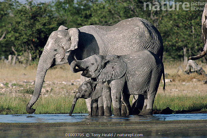 Elephant family group drinking at waterhole. Namibia  ,  AFRICA,BABIES,DRINKING,FAMILIES,GROUPS,HORIZONTAL,JUVENILE,MAMMALS,SOUTHERN AFRICA,TH,VELDT,WATER,WATERHOLE,GRASSLAND,ELEPHANTS  ,  Tony Heald