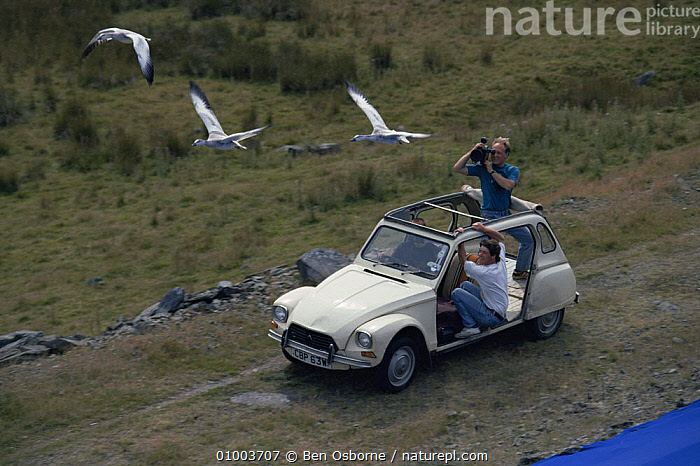 Filming imprinted snow geese flying against blue background, from moving car for television programme White Birds of Winter, BIRDS,BLUE,FILMING,GEESE,NHU,SNOW,VEHICLES,WALES,WINTER,Europe, Ben Osborne