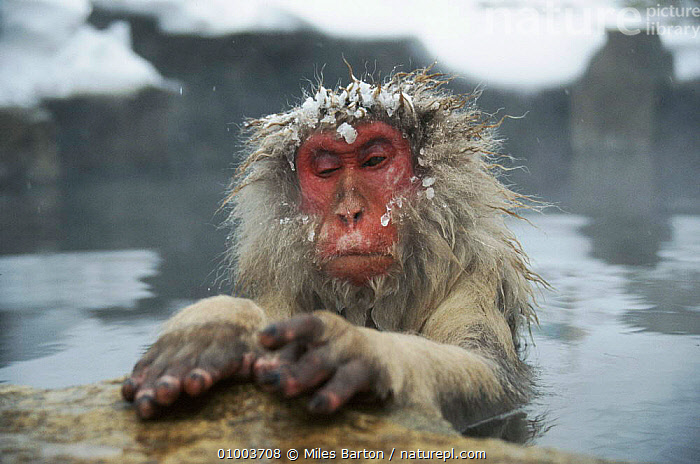 Portrait of 'Tokiwa', the first macaque to get into the hot spring, Japan. Photographed while filming for A Monkey for All Seasons.  ,  A MONKEY FOR ALL SEASONS,FACES,FEMALES,GEOTHERMAL,HORIZONTAL,HOT,JAPAN,MAMMALS,MB,PORTRAITS,RED,TOKIWA,VERTICAL,WATER,WINTER,ASIA,GEOLOGY,MONKEYS  ,  Miles Barton
