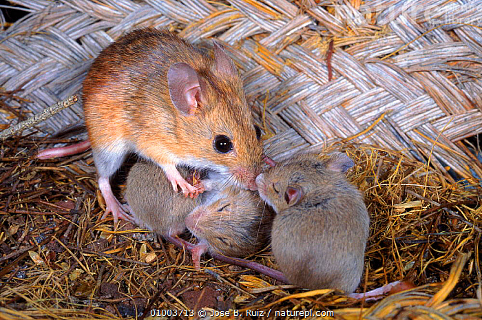 Wood mouse caring for babies in nest. Spain  ,  BABIES,CUTE,FAMILIES,HORIZONTAL,MAMMALS,NEST,PARENTAL,RODENTS,RR,SPAIN,EUROPE,MURIDAE  ,  Jose B. Ruiz