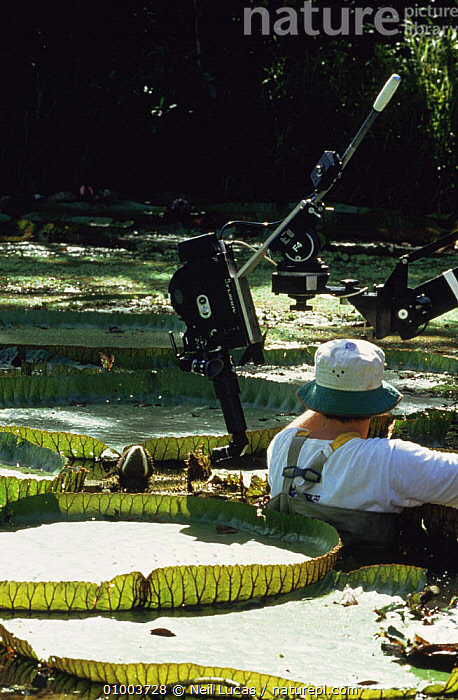 """Cameraman Tim Shepherd filming Royal Water Lilies, on location in Brazil for BBC television series """"Private Life of Plants"""", December 1993, BRAZIL,CAMERA,CAMERAS,EQUIPMENT,FILMING,FILMING IN WILD,LEAVES,LILY,NHU,PEOPLE,PLANTS,RIVERS,SIZE,SOUTH AMERICA,VERTICAL,WATER, Neil Lucas"""