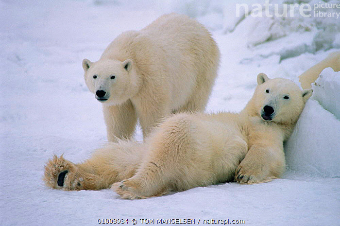 Polar Bear resting on snow, Canada, ARCTIC,BEAR,BEARS,CANADA,COOL,CUTE,FRIENDSHIP,MAMMALS,OUTSTANDING,RELAXED,RESTING,SNOW,TM,WHITE,NORTH AMERICA,CONCEPTS, TOM MANGELSEN