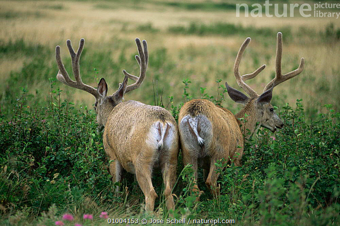 Two male Mule deer stags (Odocoileus hemionus) eating saskatoon berries. Waterton NP Canada  ,  ARTIODACTYLA,CANADA,CERVIDS,DEER,FEEDING,HUMOROUS,MALES,MAMMALS,north america,NP,VERTEBRATES,Concepts,National Park  ,  Jose Schell
