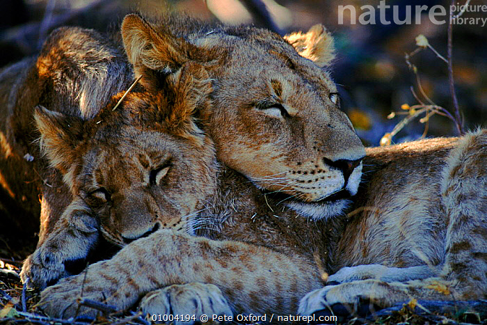 Lioness and cub sleeping (Panthea leo) Botswana, Africa  ,  AFFECTIONATE,AFRICA,BOTSWANA,CATS,CUB,CUTE,FAMILIES,FEMALES,HORIZONTAL,LIONESS,MAMMALS,OUTSTANDING,PO,PORTRAITS,SAVANNA,SLEEPING,SOUTHERN AFRICA,GRASSLAND,CONCEPTS,LIONS,BIG CATS  ,  Pete Oxford