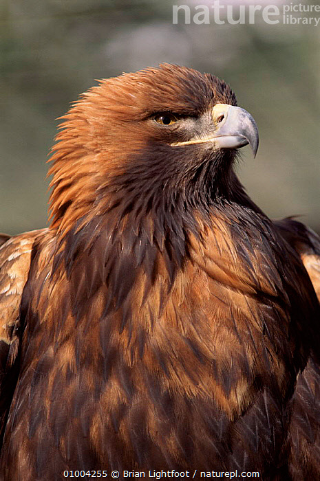 Golden Eagle portrait  ,  ,BIRDS,BL,BROWN,CAPTIVE,EUROPE,PORTRAITS,SCOTLAND,UK,VERTICAL ,BIRDS OF PREY,UNITED KINGDOM,BRITISH,EAGLES,RAPTOR  ,  Brian Lightfoot