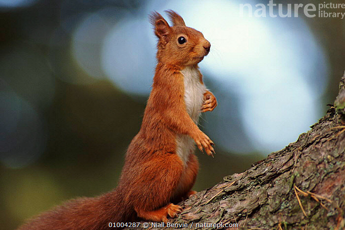 Red Squirrel on alert, ) Scotland, CONIFEROUS,CUTE,EUROPE,MAMMALS,NB,OUTSTANDING,RODENTS,SCOTLAND,STANDING,UK,VERTICAL,WOODLANDS,UNITED KINGDOM,BRITISH, Niall Benvie