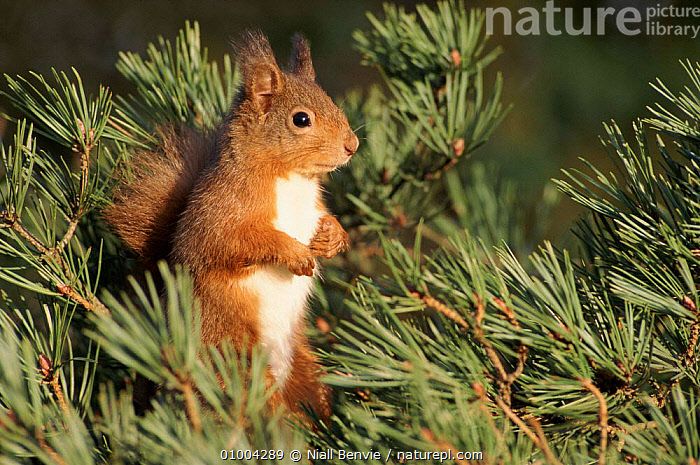 Red Squirrel in Scots pine tree, Scotland  ,  CONIFEROUS,CUTE,EUROPE,HORIZONTAL,MAMMALS,NB,PINE,RODENTS,SCOTLAND,SCOTS,TREE,UK,UNITED KINGDOM,BRITISH  ,  Niall Benvie