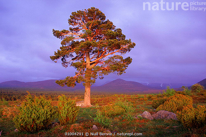 Scots pine (Pinus sylvestris) with Cairngorms in background. Speyside, Scotland, UK, Europe, CAIRNGORMS,EUROPE,GRAMPIAN,GYMNOSPERMAE,HIGHLANDS,HORIZONTAL,LANDSCAPES,MOUNTAINS,SCOTLAND,SPEYSIDE,TREES,UK,UNITED KINGDOM,PLANTS,BRITISH, Niall Benvie