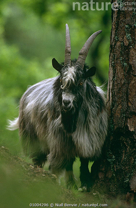 Feral goat {Capra hircus} scent rubbing on Scots pine, Scotland  ,  ARTIODACTYLA,BEHAVIOUR,BOVIDS,GOATS,MALES,MAMMALS,PORTRAITS,SCOTLAND,TERRITORIAL,UK,VERTEBRATES,VERTICAL,WOODLANDS,Europe,United Kingdom,British,Antelopes  ,  Niall Benvie