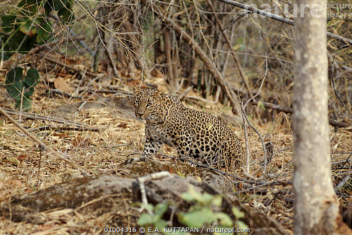 Leopard camouflaged in undergrowth in Bandhavgarh National Park, India, BANDHAVGARH,CAMOUFLAGE,CARNIVORES,HORIZONTAL,INDIA,INDIAN SUBCONTINENT,KU,MAMMALS,NP,RESERVE,ASIA,NATIONAL PARK,LEOPARDS,BIG CATS, E.A. KUTTAPAN