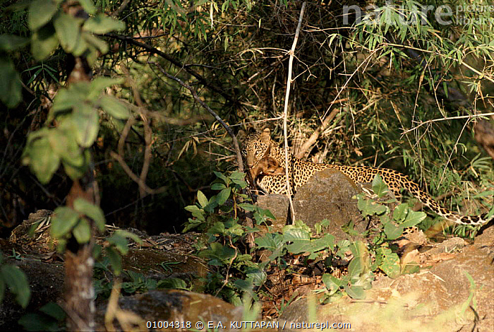 Leopard with prey, Bandhavgarh National Park, India.  ,  BANDHAVGARH,CATS,HORIZONTAL,INDIA,INDIAN SUBCONTINENT,KU,MAMMALS,NP,PREDATION,RESERVE,ASIA,BEHAVIOUR,NATIONAL PARK,LEOPARDS,BIG CATS  ,  E.A. KUTTAPAN